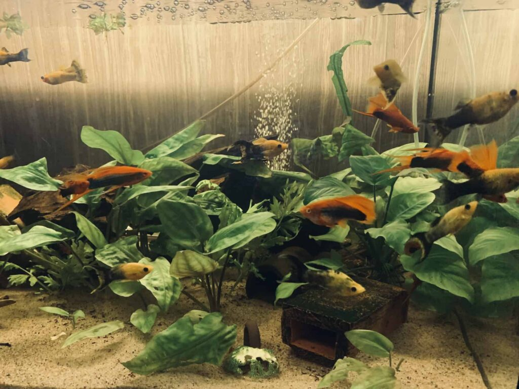 Zestawy ryb i roślin na 100 litrów