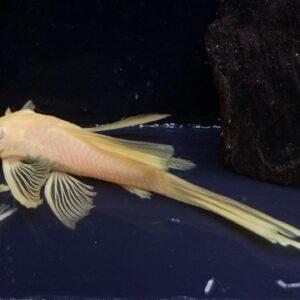 Ancistrus Green Dragon Albinos weloniasty long fin_2