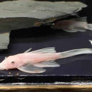 Ancistrus-L-144-Snow-White-weloniasty-long-fin_8
