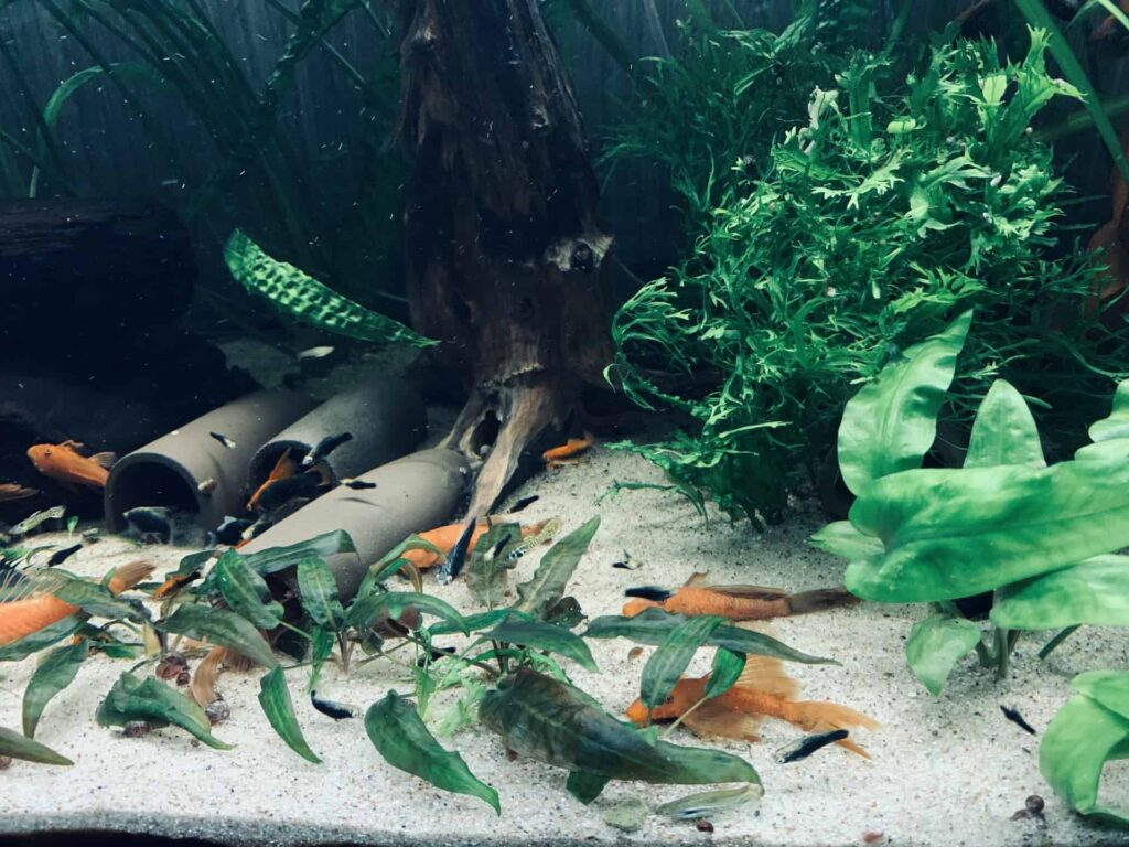 Pielęgnacja akwarium Ancistrus